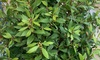 Laurus Nobilis Plant 3L Pot