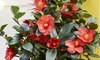 One or Two Camellia 1001 Summer Nights Jasmine Plants in 10.5cm Pots