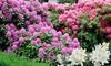 3er- oder 6er-Set Rhododendron-Pflanzen
