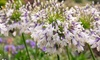 One or Two Agapanthus Fireworks Plants