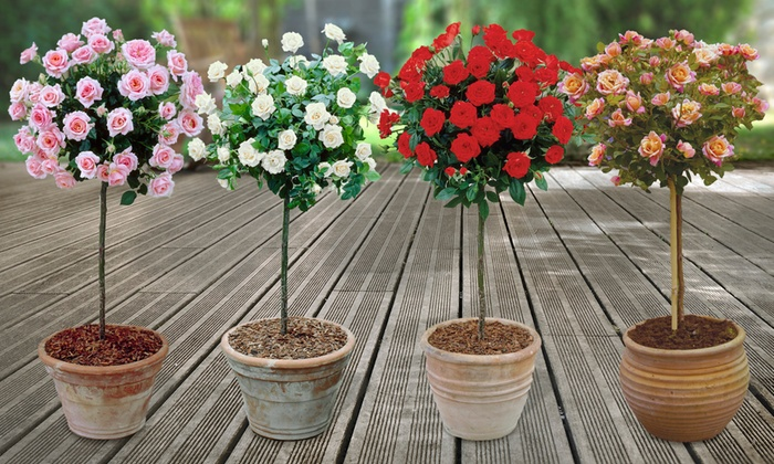 Up To 50 Off Pair Of Patio Standard Roses Groupon