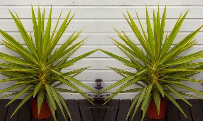Patio Yucca Jewel Palm Tree ...
