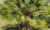 1 ou 2 palmiers nain, 35 cm