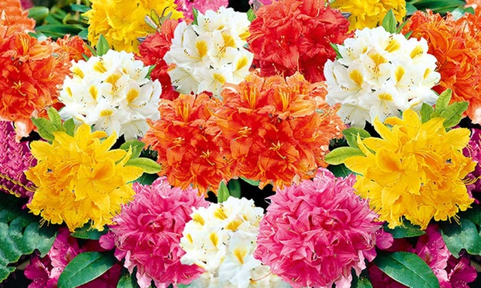 Rhododendron Mix Sun Balls Groupon Goods