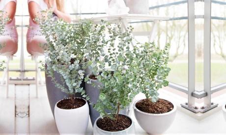 1 o 2 plantas Eucalyptus Gunnii