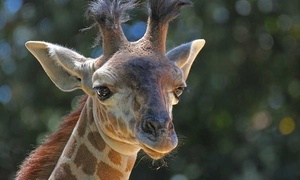 $21 for Weekday Fun for Four with Rides at Sacramento Zoo (Up to $63 Value)