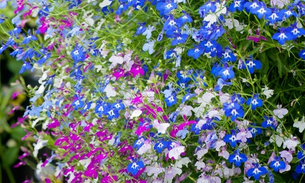 Lobelia Ultra Cascade 24, 48 or 72 Plants from £4.99 with Free delivery