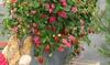 Erdbeerpflanze - Fragaria Roman