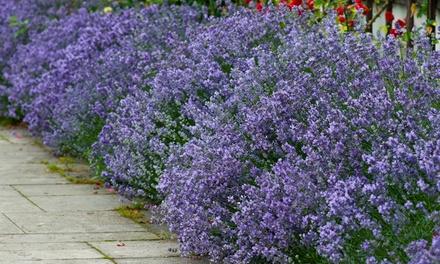 12 or 24 English Lavender Plants