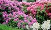 Set di 3 piante di rododendro