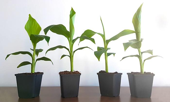 Winterharte Bananen-Pflanzen | Groupon Goods