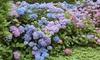 Set Hortensia-planten