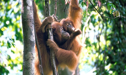 Sumatra, Indonesia: From $575 Per Person for a 9-Day Wild Orangutan and Tiger Trek Expedition with Expedition Jungle