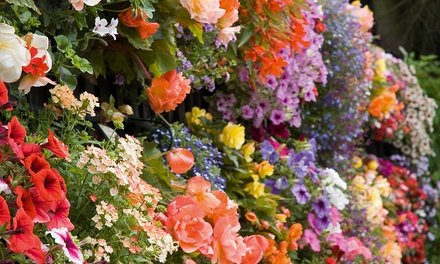 Summer Bedding Collection 24, 48, 72 or 144 Plants with Optional Hanging Baskets