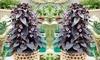 Three or Six Ipomoea Purple Princess Plants