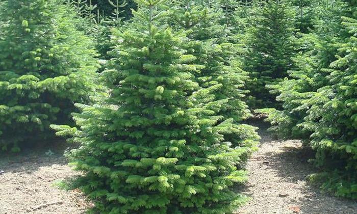 Nordmann Fir Christmas Trees at Fife Christmas Trees (50% Off)