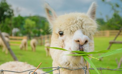 image for Farm Entry and Alpaca Walk for One Child, Adult or Family at Lucky Tails Alpaca Farm (Up to 55% Off)
