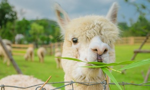 Lucky Tails Alpaca Farm: Farm Entry and Alpaca Walk for One Child, Adult or Family at Lucky Tails Alpaca Farm (Up to 55% Off)