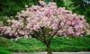 Groupon Goods Global GmbH: Prunus TrilobaDouble Flowering Cherry-Almond Tree with Planting Compost and Feed