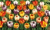 Pre-Order: Rembrandt Mixed Dutch Tulip Bulbs (16-, 24-, or 40-Pack) : Pre-Order: Rembrandt Mixed Dutch Tulip Flower Bulbs (16-, 24-, or 40-Pack)