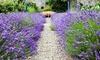 6 Hardy English Lavender Plants