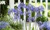 Agapanthus Ever Sapphire 9cm Pot - 1 or 2 Plants