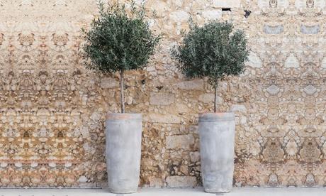1 o 2 árboles de olivas