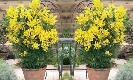 Pianta A Fiori Gialli.Fino A 6 Piante Di Mimosa Esotica Con Fiori Gialli Italia