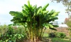 Plantas de banano Musa Basjoo