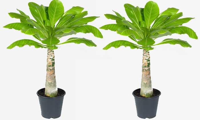 2er- oder 4er-Set Zimmerpflanze Hawaii-Palmen
