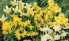 Narcissus Daffodil Dwarf Collection - 60 or 120 Bulbs
