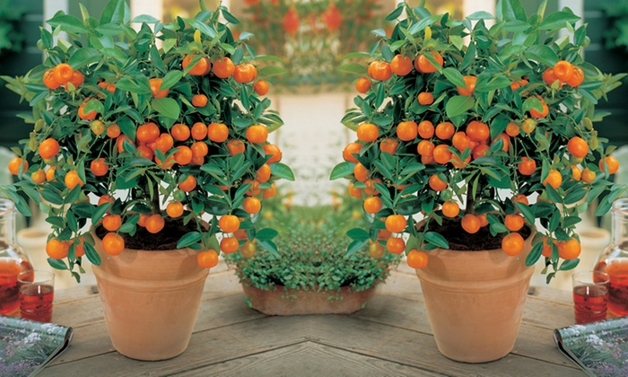 Groupon Goods Global GmbH: Mini Patio Fruit Trees Orchard And Citrus  Collections From £17.99 ...
