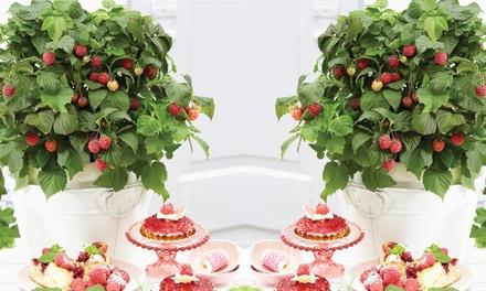 Dwarf Patio Raspberry Yummy with 100g Incredicrop