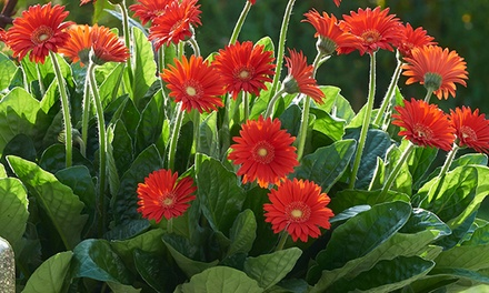 Three, Six or Nine Gerbera Sweet Love Plants