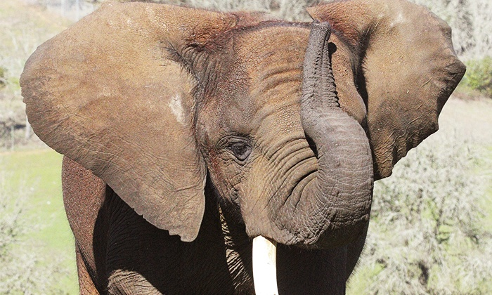 Wildlife Safari - Winston: Elephant Elves Holiday Workshop or Drive-Through Admission for One or Two at Wildlife Safari (Up to 52% Off)