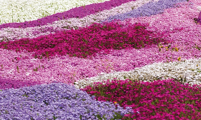 Phlox Creeping Collection of 5, 10, 20 or 30 Plants (£4.99)