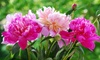 Pre-Order: Peony Bare Root Fragrant Collection (3-Pack)