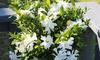 Gardenia 'Celestial Star' Plant