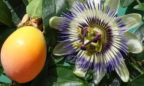 Conjunto de 3 o 6 plantas de fruta de la pasión Passiflora Edulis