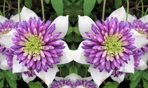 Plante clématite Viennetta
