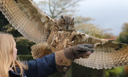 Two-Hour Falconry Experience Plus Entry to Mount Ephraim Gardens at Joe's Bows