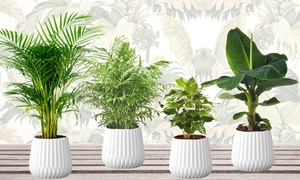 Pack 4 plantes 25-40 cm