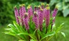 Pre-Order: Pineapple Palm Tree Lily Bulbs (3-, 6-, or 15-Pack)