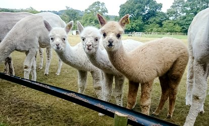 image for Alpaca Walk with Afternoon Tea for One or Two at Charnwood Forest (Up to 55% Off)