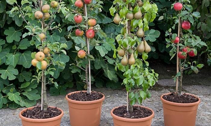 Fino a 3 piante da frutto con vaso groupon for Piante da frutto vaso