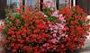6 piante di geranio rampicante