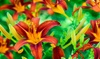 Pre-Order: Raspberry Daylily Bare Root Plants (2-, 4-, or 8-Pack)