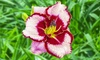 Reblooming Daylily Bare Root Plant Set (3-Piece)