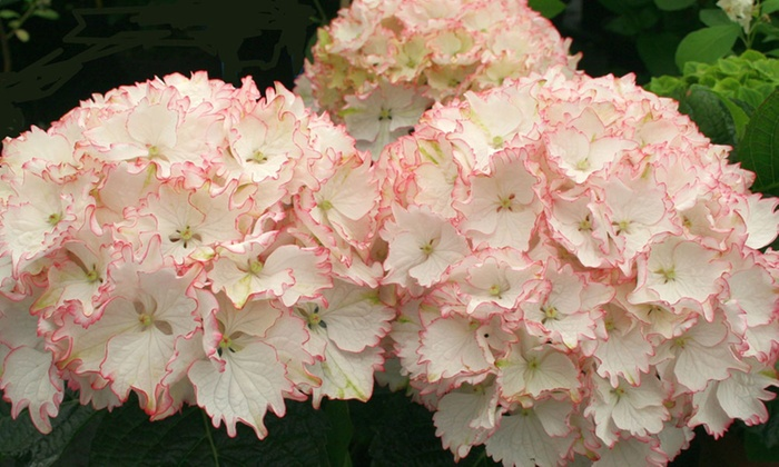 Van Meuwen: Frilly Hydrangea Collection of 2, 4, or 8 Plants from ...