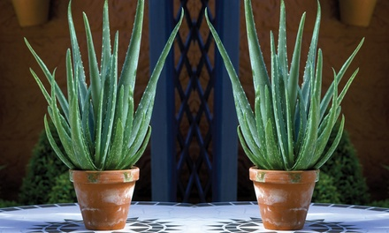 One, Two or Three Aloe Vera Plants